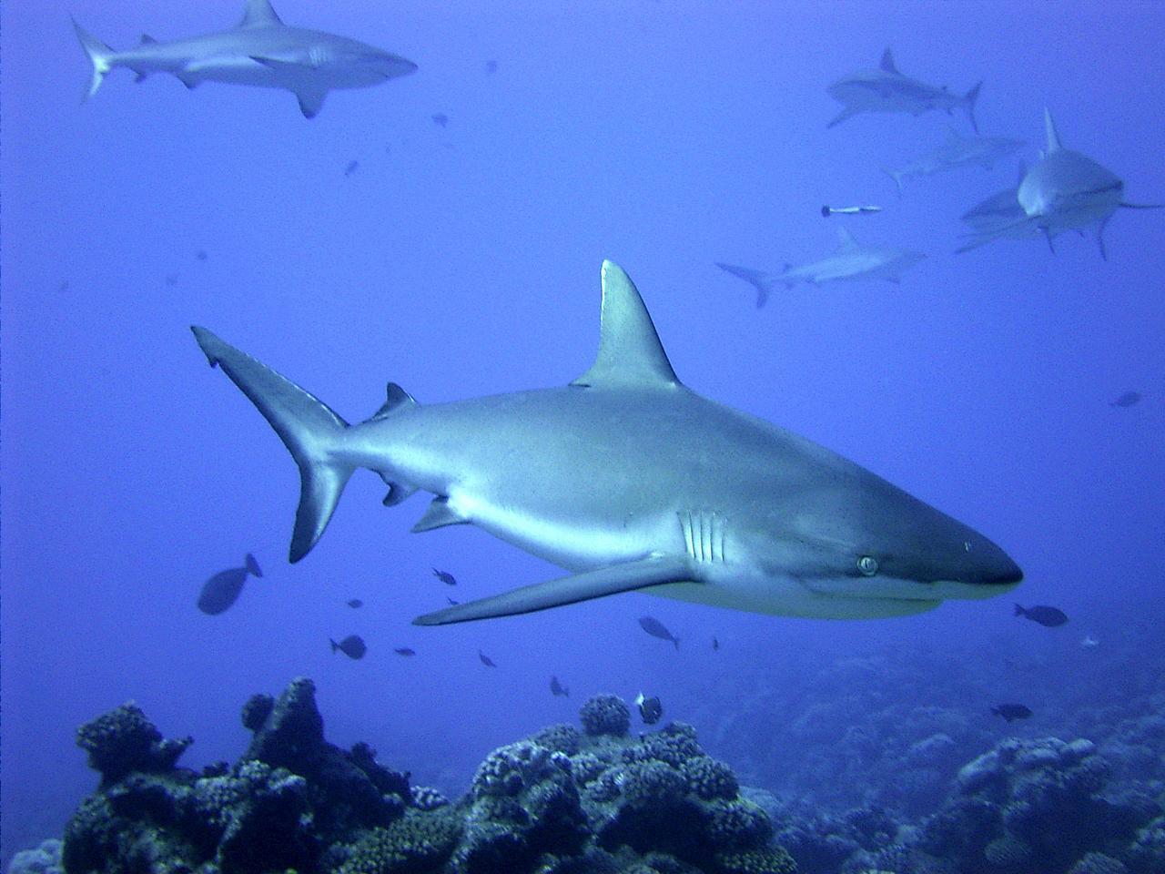 Baby black tip reef shark - photo#26