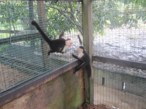 Roatan-Monkeys