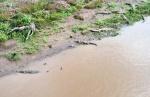 Crocodiles-Panama-Canal