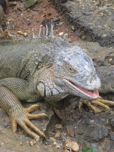Iguana-Farm-Roatan