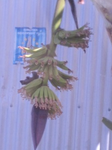 Banana tree just starting to produce the fruit.