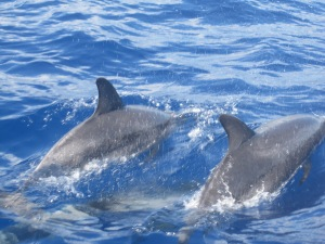 Dolphins-Madeira