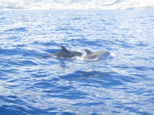 Dolphins-Funchal-Madeira