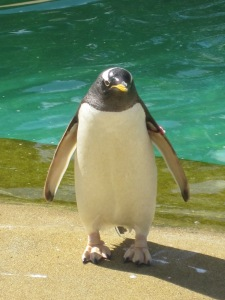 King-Penguin-Edinburgh-Zoo
