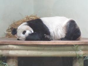 Edinburgh-Zoo-Panda-Tian-Tian