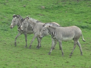 Edinburgh-Zoo-Zebras