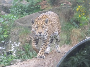 Jaguar-Edinburgh-Zoo