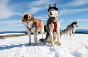 Husky-Dogs
