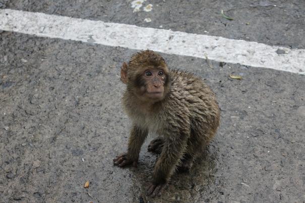 GibraltarMonkey