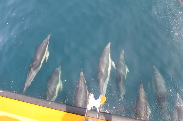 Dolphin-Watching-Gibraltar
