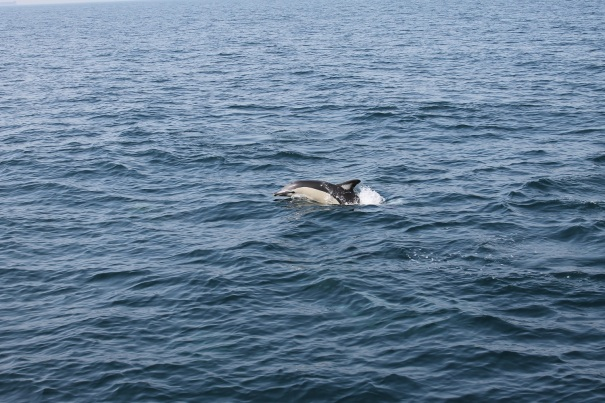 Common Dolphin in Gibraltar - my own image