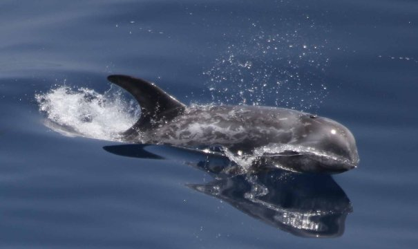 Risso's Dolphin spotted in the Bay of Biscay Image credit: ORCA