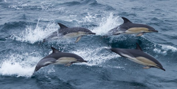 Common-Dolphins-Ice-Fire-Fjords