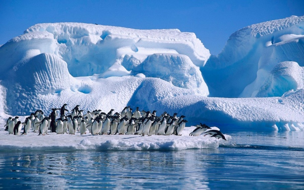 ADELIE PENGUIN (Pygoscelis adeliae), GROUP DIVING FROM ICEFLOE IN HOPE BAY, ANTARCTIC.