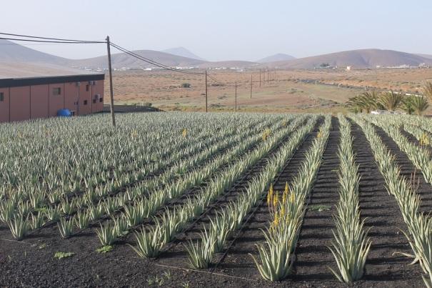 aloe-farm-fuerteventura-saga-cruises